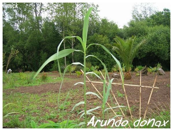 Arundo Donax ( Fiche ) Arundo10