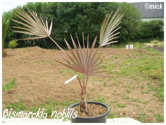 Bismarckia nobilis ( Fiche ) Bismar10