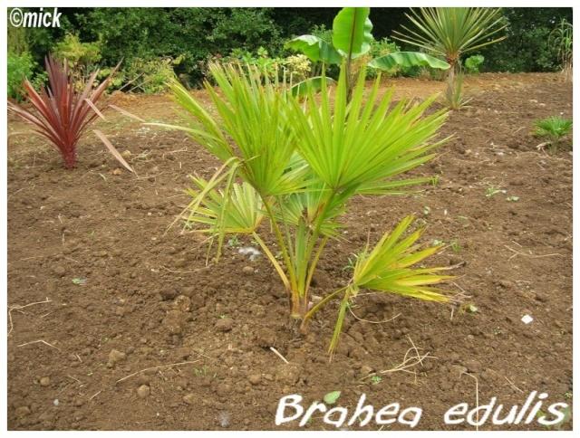 Brahea edulis ( Fiche ) Brahea10