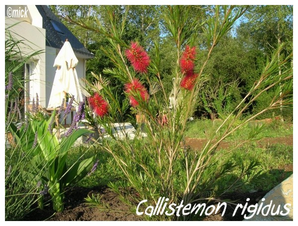 Callistemon ridigus ( Fiche ) Callis10