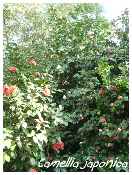 Camellia japonica ( Fiche ) Camell10