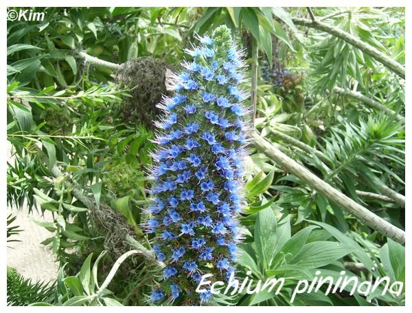Echium pininana ( Fiche ) Echium10
