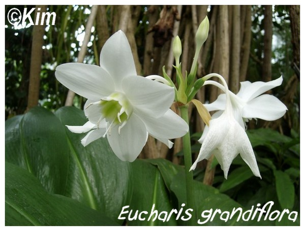 Eucharis amazonica ( Fiche ) Euchar10
