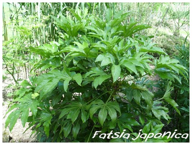 Fatsia japonica ( Fiche ) Fatsia11