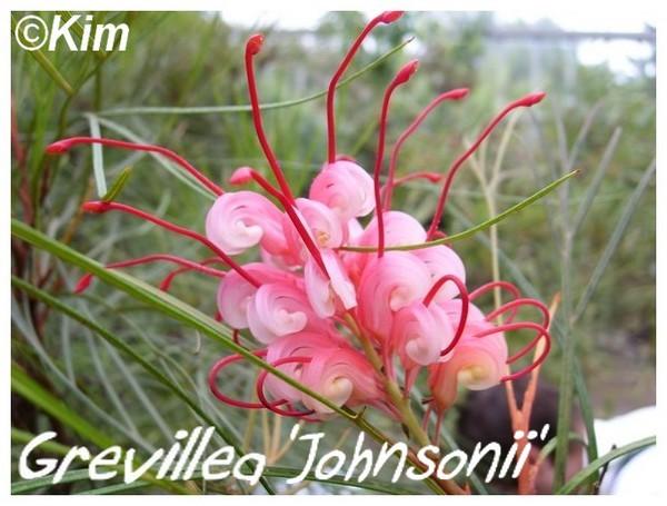 Grevillea 'Johnsonii' ( Fiche ) Grevil10