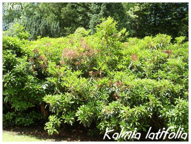 Kalmia latifolia ( Fiche ) Kalmia13
