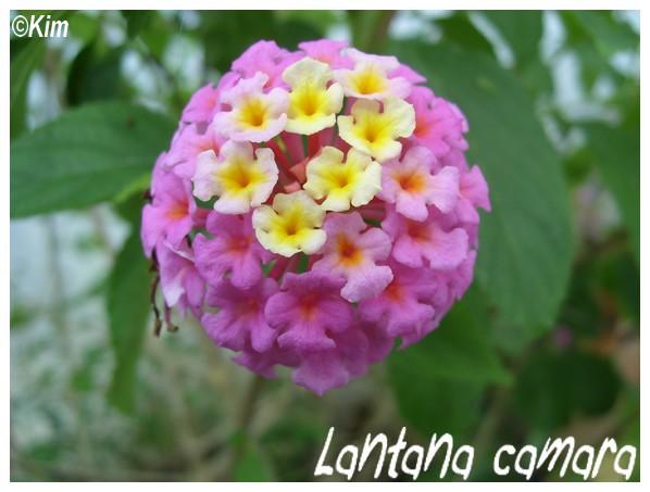 Lantana camara ( Fiche ) Lantan10