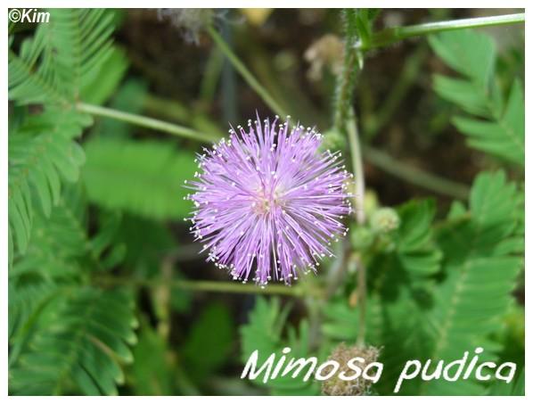 Mimosa pudica ( Fiche ) Mimosa10