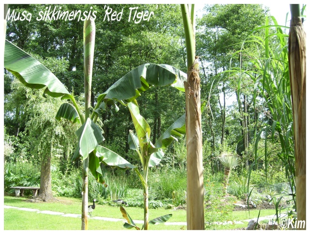 Musa sikkimensis 'Red Tiger' ( Fiche ) Musa_s13