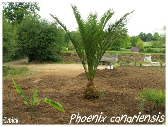 Phoenix Canariensis ( Fiche ) Phoeni11
