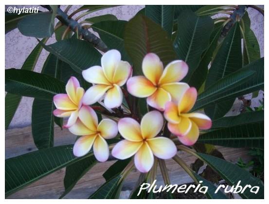 Plumeria rubra ( Fiche ) Plumer11