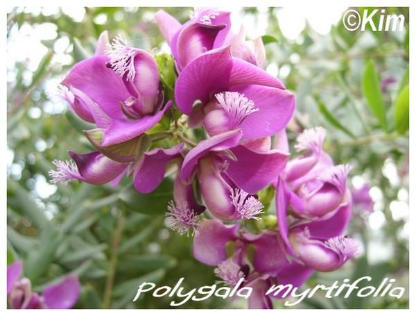 Polygala myrtifolia ( Fiche ) Polyga10