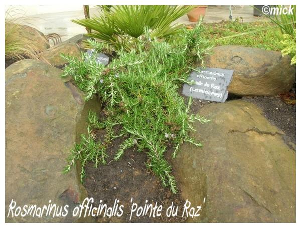 Rosmarinus officinalis 'Pointe du Raz' ( Fiche ) Rosmar10