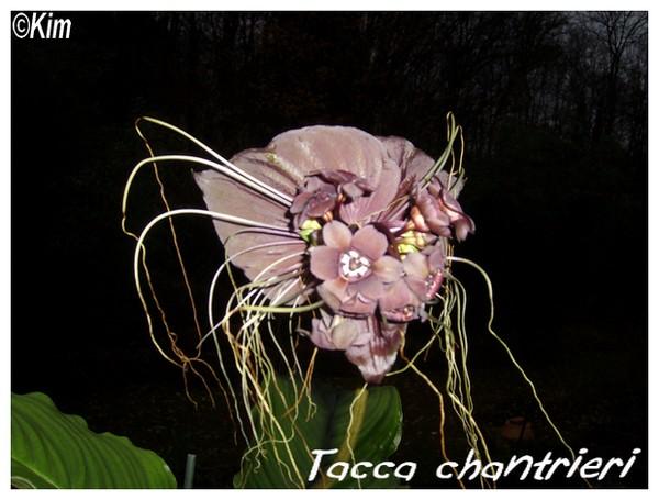 Tacca chantrieri ( Fiche ) Tacca_10
