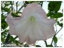 Brugmansia suaveolens ( Fiche ) Brugma14