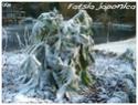 Fatsia japonica ( Fiche ) Fatsia12