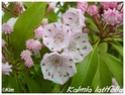 Kalmia latifolia ( Fiche ) Kalmia14