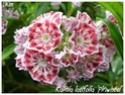 Kalmia latifolia ( Fiche ) Kalmia15