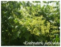 Koelreuteria paniculata ( Fiche ) Koelre12
