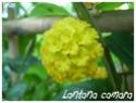 Lantana camara ( Fiche ) Lantan12
