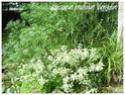 Pittosporum tenuifolium ( Fiche ) Pittos10