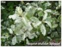 Pittosporum tenuifolium ( Fiche ) Pittos14