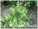 Pittosporum tenuifolium ( Fiche ) Pittos17