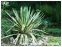 Yucca gloriosa ( Fiche ) Yucca_13