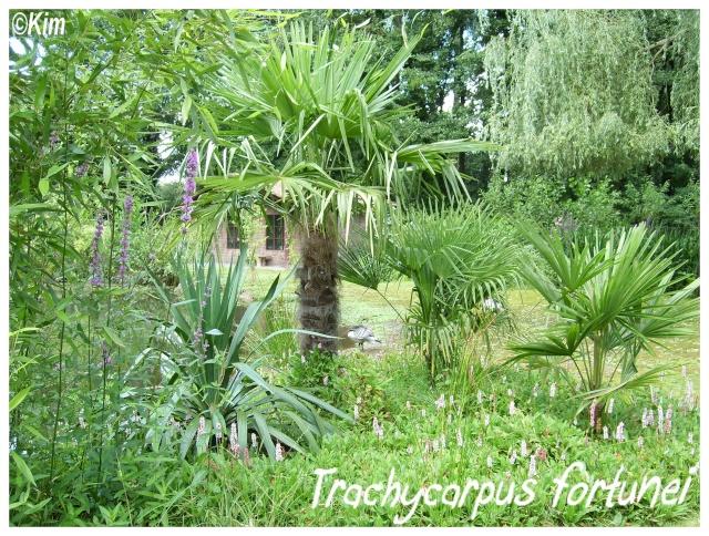 Trachycarpus fortunei ( Fiche ) Trachy10
