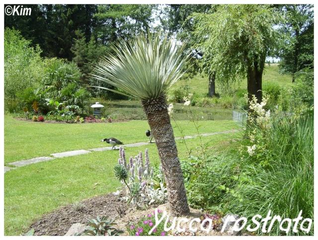 Yucca rostrata ( Fiche ) Yucca_11