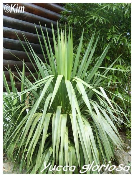 Yucca gloriosa ( Fiche ) Yucca_12