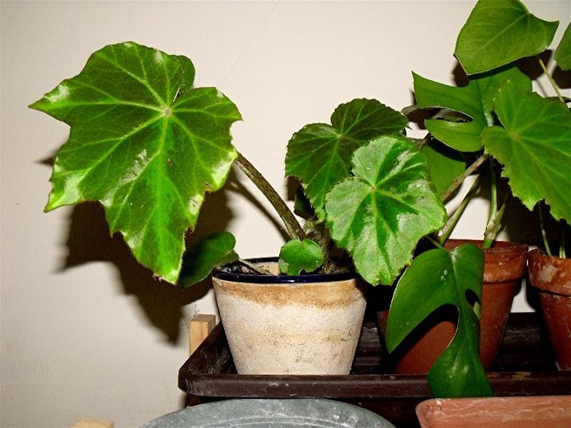 Begonia Kui Un_peu10
