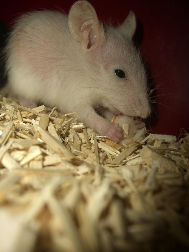Rats & Ratons domestiques en pleine avenue - Page 38 Cimg2014