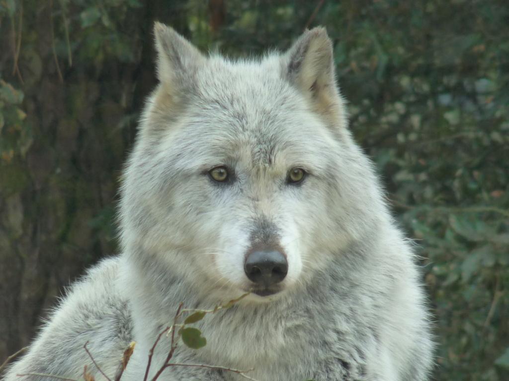Le loup 1_10710