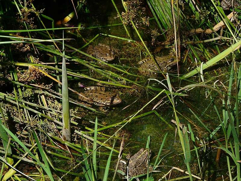 grenouille ou crapaud ? nouvelles photos 22 juillet 4greno11