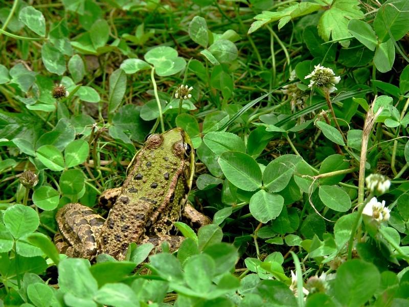 grenouille ou crapaud ? nouvelles photos 22 juillet Grenou10