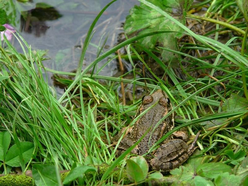 grenouille ou crapaud ? nouvelles photos 22 juillet Grenou11