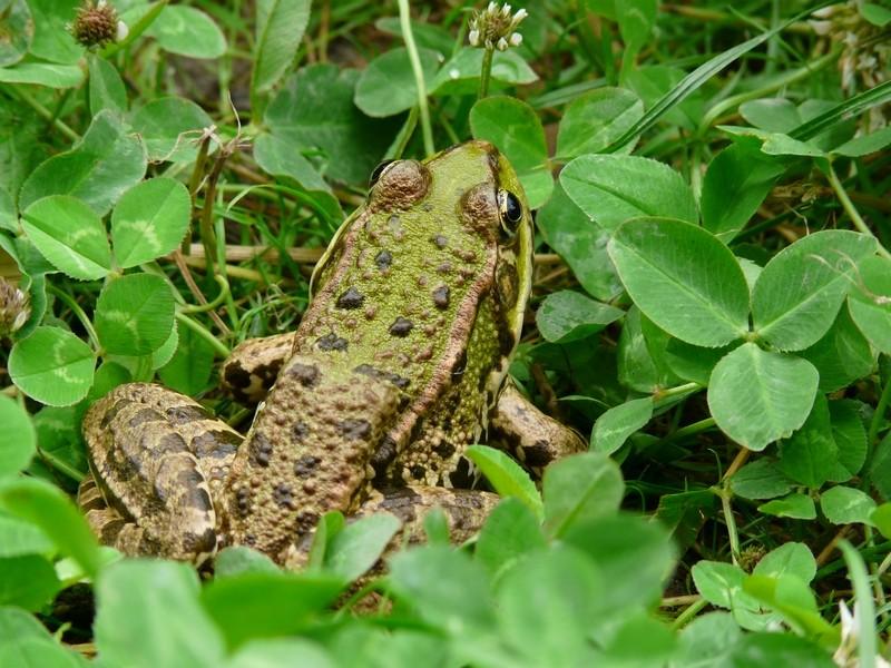 grenouille ou crapaud ? nouvelles photos 22 juillet Grenou12