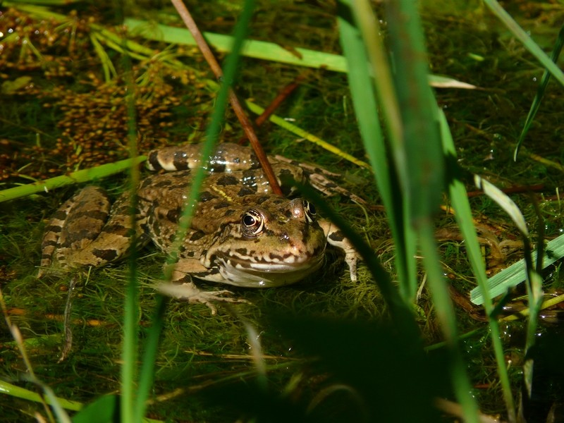 grenouille ou crapaud ? nouvelles photos 22 juillet Grenou14