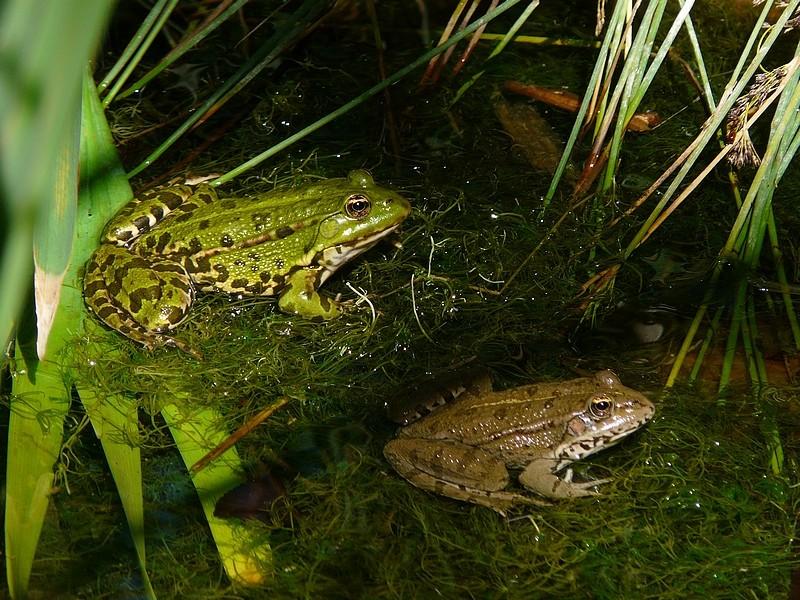 grenouille ou crapaud ? nouvelles photos 22 juillet Grenou15