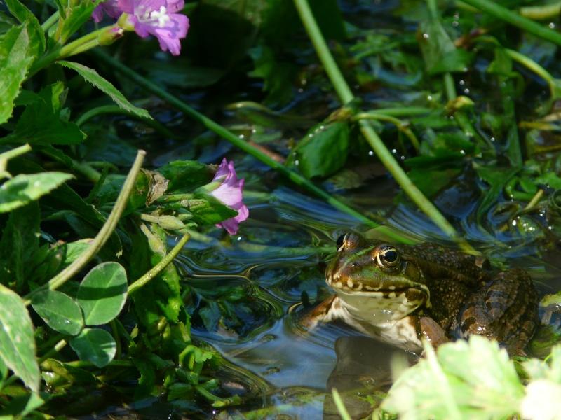grenouille ou crapaud ? nouvelles photos 22 juillet P1000910