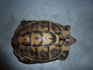Quelle est cette tortue ? P1040914