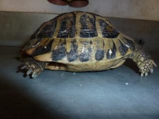 Quelle est cette tortue ? P1040916