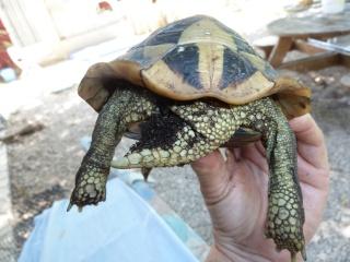 Quelle est cette tortue ? P1040917