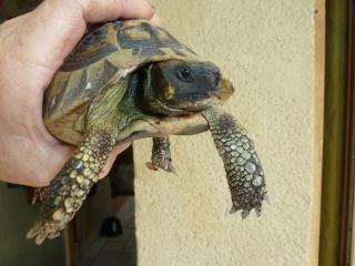 Quelle est cette tortue ? P1040918