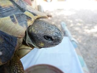 Quelle est cette tortue ? P1040919