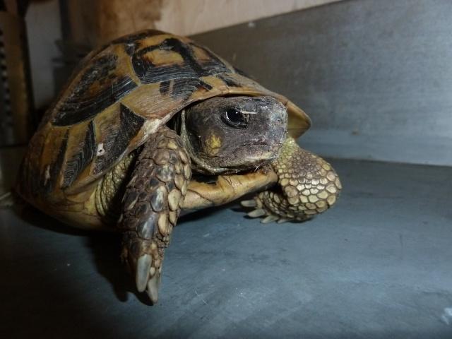 Quelle est cette tortue ? P1040920