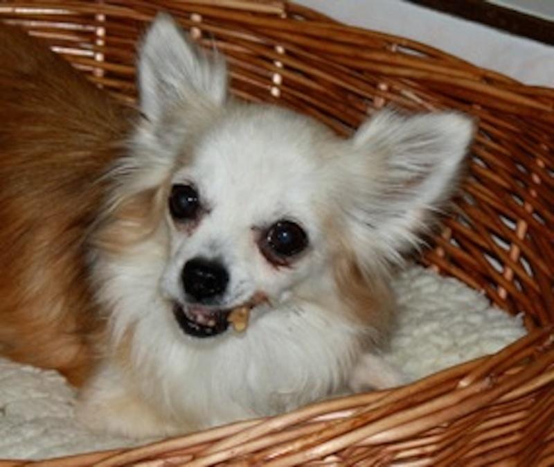 A diffuser : Petite femelle chihuahua perdue dans le 77 [résolu] Img_1411