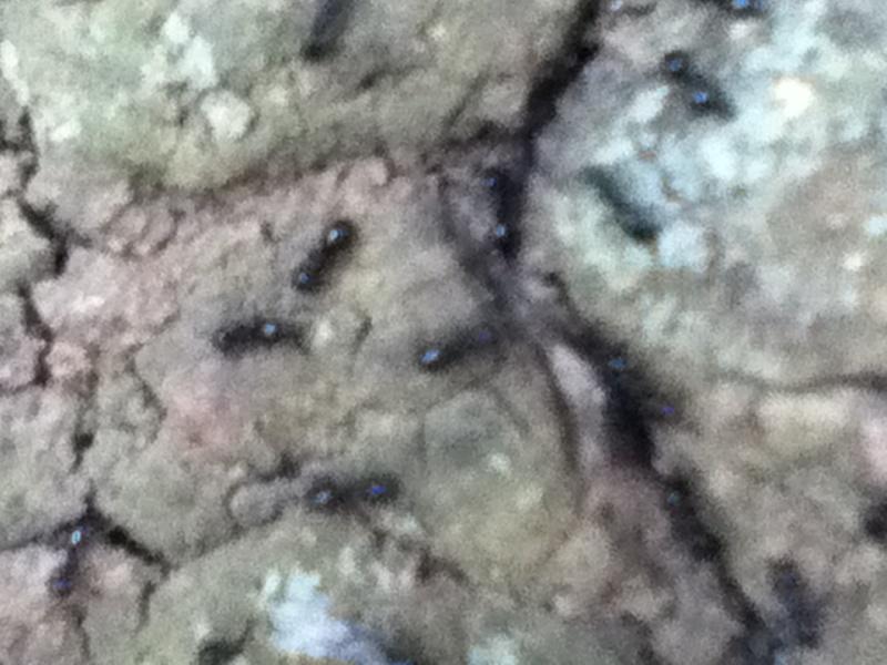 Quellle espèce de fourmis ? Fourmi11