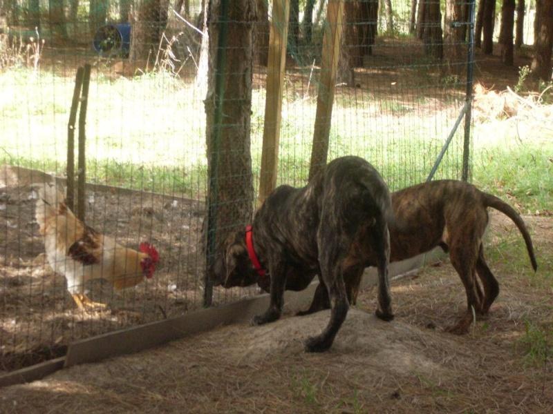 SOS pour 2 chiens squelettiques en fourriere association GALIA (85) 29907310